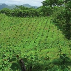 Costa Rica Immobilien: Aufforstungen Teak/Pochote/Melina/Laurel